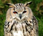 owl.frowning
